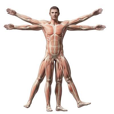 Biomedical Illustration Photograph - Vitruvian Man Muscles by Sebastian Kaulitzki