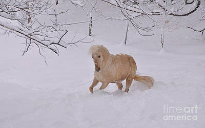 Paso Fino Photograph - Viva Zapata Contratercero Dances In The Snow by Patricia Keller
