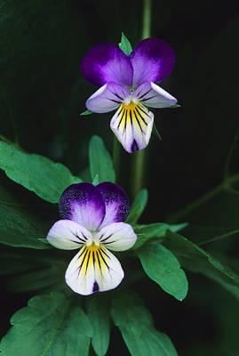 Vivacious Viola  Art Print