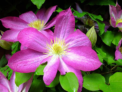 Food And Flowers Still Life - Vivid Clematis by Andy McAfee
