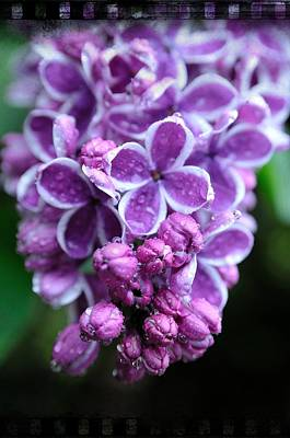 Photograph - Vivid Lilac by Sandra Sigfusson