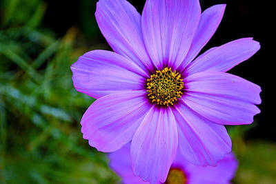 Photograph - Vivid Purple Flower by Richelle Munzon