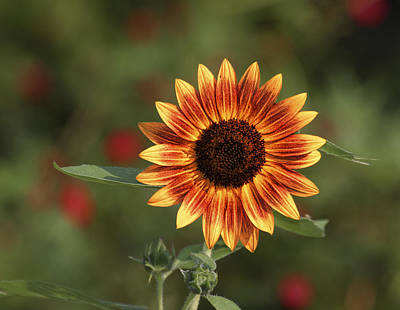 Photograph - Vivid Sunflower by Gregory Scott