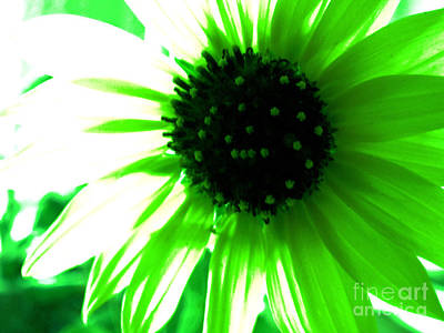 Photograph - Vivid Sunflower by Tammy Herrin