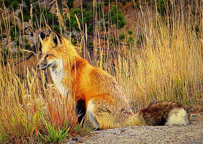 Photograph - Vixen by Karen Shackles