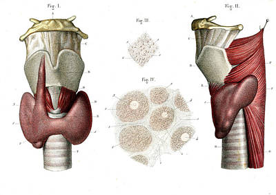 Human Voice Photograph - Voice Box And Thyroid by Collection Abecasis