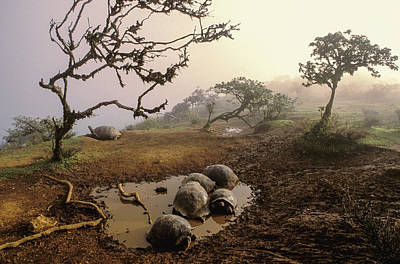 Galapagos Photograph - Volcan Alcedo Giant Tortoises Wallowing by D. Parer & E. Parer-Cook