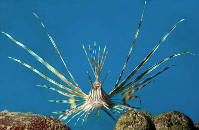 Sting Photograph - Volitan Lionfish by Nigel Downer