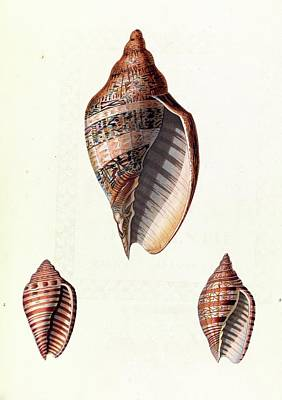 Cut Out Photograph - Voluta Seashells by Royal Institution Of Great Britain