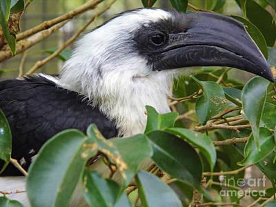 Photograph - Von De Deckens Hornbill by D Hackett