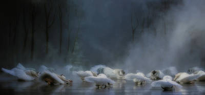 Swan Wall Art - Photograph - Von Rothbart's Curse by Peet Van Den