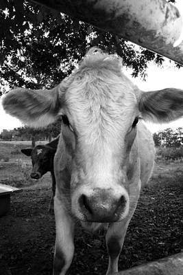 Photograph - Cow by Kelly Hazel