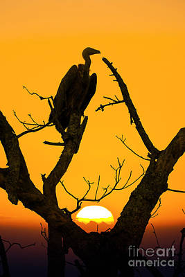 Vulture Wall Art - Photograph - Vulture by Delphimages Photo Creations