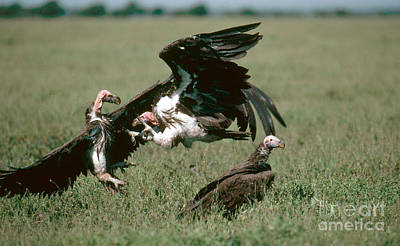 Vulture Photograph - Vulture Fight by Gregory G. Dimijian, M.D.