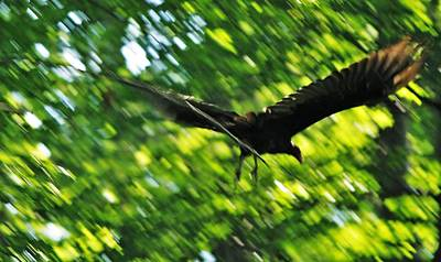 Photograph - Vulture In Action by Al Fritz