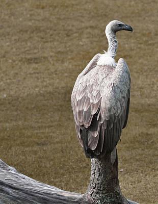 Vulture On Guard Art Print