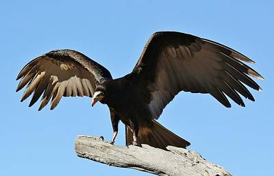 Photograph - Vulture Wings by Paulette Thomas