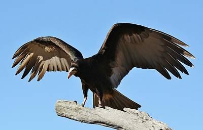 Vulture Wings Art Print by Paulette Thomas