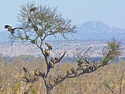 Lion In Waiting Photograph - Vultures Waiting For The Lions To Leave Their Kill In Kruger National Park-south Africa  by Ruth Hager