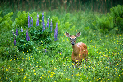 Photograph - Lupine Deer by Robert Clifford