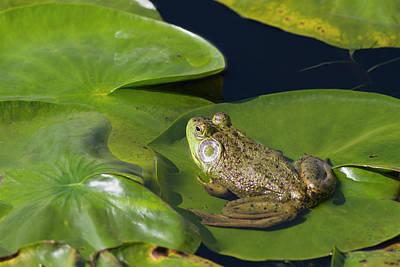 Bullfrogs Photograph - Wa, Juanita Bay Wetland, Bullfrog, Male by Jamie and Judy Wild