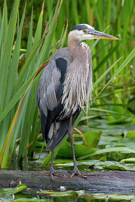 Heron Photograph - Wa, Juanita Bay Wetland, Great Blue by Jamie and Judy Wild