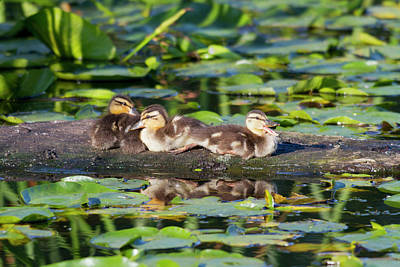 Baby Bird Photograph - Wa, Juanita Bay Wetland, Mallard Ducks by Jamie and Judy Wild
