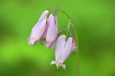 Bleeding Hearts Photograph - Wa, Tiger Mountain State Forest by Jamie and Judy Wild