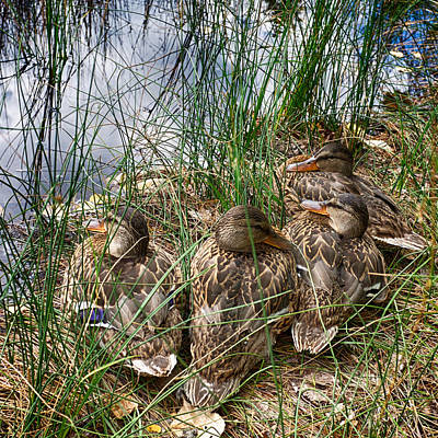 Photograph - Waddle Of Ducks by Trever Miller