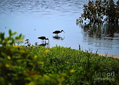 Photograph - Wading Black Ibis by Sharon Woerner