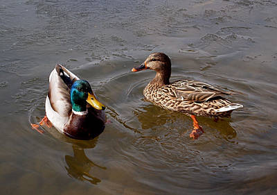 Photograph - Wading Ducks by Rona Black