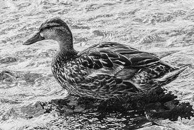Wading Female Mallard Art Print