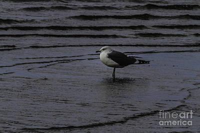 Wading Gull Art Print