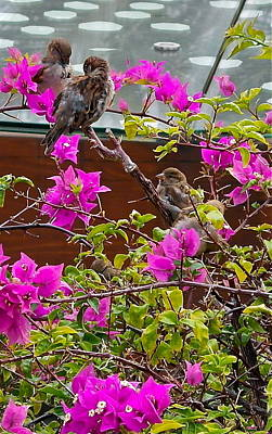 Photograph - Waikiki Sparrows In Bougainvillea by Michele Myers