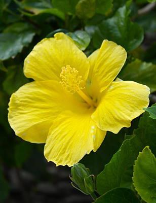 Photograph - Waikiki Yellow Hibiscus by Michele Myers