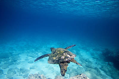 Ocean Turtle Photograph - Turtle Soar by Sean Davey