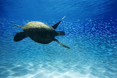 Ocean Turtle Photograph - Waimea Turtle by Sean Davey