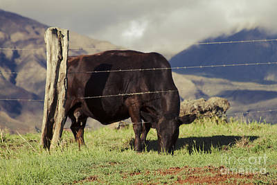 Photograph - Cow Browsing In Evening Light Waiopae Maui Hawaii by Sharon Mau