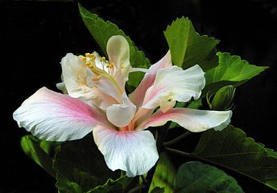 Waitangi White Hibiscus Art Print by Linda Phelps