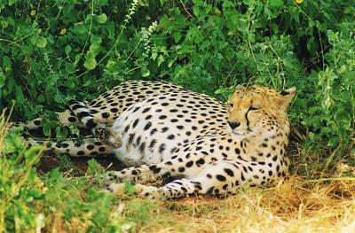 Photograph - Waiting For Baby Cheetahs by Belinda Greb