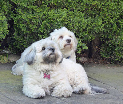 Art Print featuring the photograph Havanese Dog Sisters by Laurie Tsemak