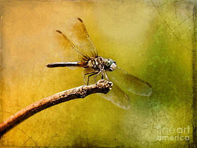 Blue Dasher Photograph - Waiting For My Date by Betty LaRue