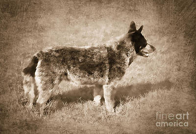 Cattle Dog Photograph - Waiting For My Master by Betty LaRue