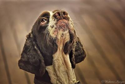 Photograph - Waiting For The Ball Springer Spaniel by Wallaroo Images