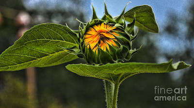 Photograph - Waiting For The Sun Sunflower by Kathleen K Parker