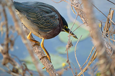 Photograph - Waiting Little Green Heron by rd Erickson
