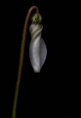 Photograph - Waiting To Bloom by Robert Woodward