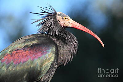 Photograph - Waldrapp Ibis 5d27049 by Wingsdomain Art and Photography