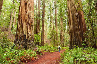 Walk Among Giants - Massive Redwoods Sequoia Sempervirens In Redwoods National Park. Art Print by Jamie Pham