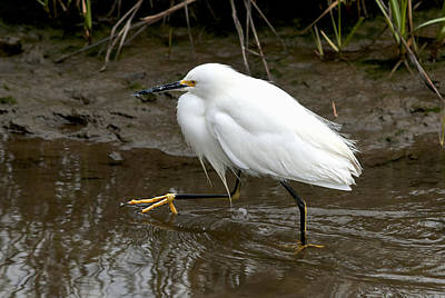 Photograph - Walking Egret by Carol Erikson
